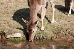 Deer drinks water Stock Image