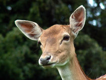 Deer Ears Stock Photo