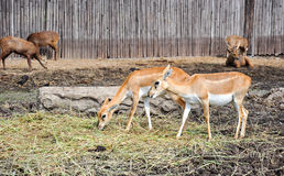 A deer eat simple feed Stock Photography