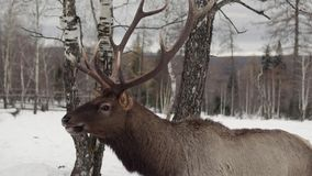 Deer eat in the winter forest stock video footage