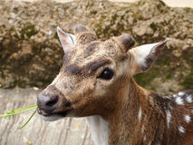 Deer Eating Royalty Free Stock Images