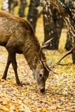 Deer eating in autumn birch forest. Deer looking for food among leaves in autumn birch forest royalty free stock images