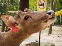 Deer eating banana. stock image
