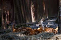 Deer eating berries laying on ground. In zoo Royalty Free Stock Image