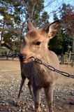 Deer. Eating chain in Japan park Stock Photography