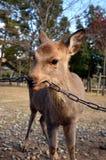 Deer Stock Photography