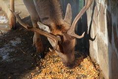 Deer eating corn. Inside his enclosure Royalty Free Stock Image