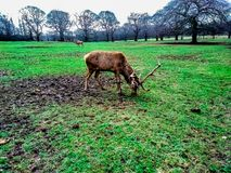 Deer eating grass in the Wollaton Hall Park in Nottingham, United Kingdom. Can be used with similar image no. 121463727 royalty free stock photo