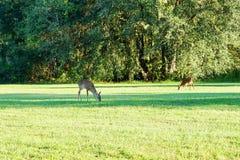 Deer eating Stock Photos