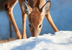 Deer eating Royalty Free Stock Photography