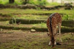 Deer eating food Stock Photo