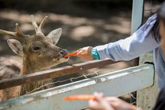 Deer eating food Stock Photography