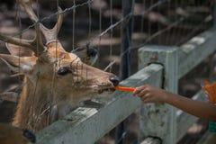 Deer eating food. In the garden Royalty Free Stock Image