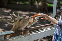 Deer eating food. In the garden Royalty Free Stock Photo
