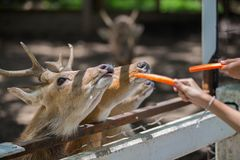 Deer eating food. In the garden Stock Image