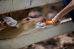 Deer eating food. In the garden Stock Photo