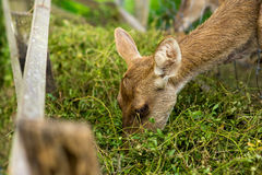 Deer eating food intently. Deer eating food intently on sunny day Royalty Free Stock Images