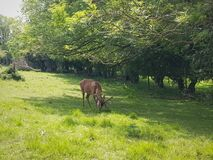 Free Deer Eating Grass Royalty Free Stock Photo - 184610495