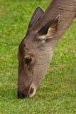 Deer eating grass. Close up deer eating grass Royalty Free Stock Images