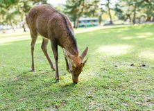 Deer eating grass Royalty Free Stock Photo