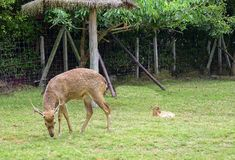 Deer eating grass With a child neary. royalty free stock photos