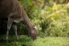 Deer eating grass in field. At Khao Yai National Park, Thailand Stock Images