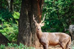 Portrait of deers Royalty Free Stock Photography