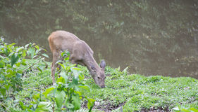 Deer eating grass. In forest in thailand Royalty Free Stock Image