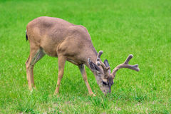 Deer. Eating grass on green meadow Royalty Free Stock Photography