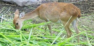 A deer eating grass Royalty Free Stock Photos