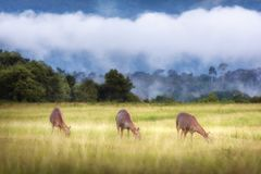 Deer eating grass on meadow in forest with cloud Royalty Free Stock Images