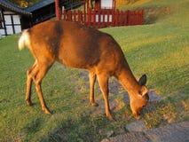 Deer eating grass near Todai-ji temple, Nara Japan. Royalty Free Stock Images