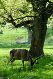 Deer. Eating grass on sunny meadow Royalty Free Stock Images