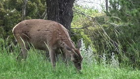 A Deer Is Eating Grasses 3. A deer is eating grasses in the forest stock footage