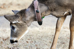 A Deer Eating Royalty Free Stock Photography