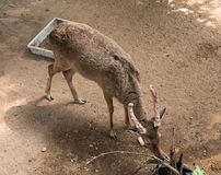 The deer eating Royalty Free Stock Photography