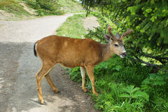Deer eating in Olympic National Par Royalty Free Stock Photo