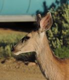 Deer Royalty Free Stock Images