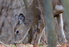 The deer is eating something from the ground Stock Photography