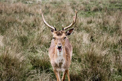 Deer eating straw. A deer looking and eating Royalty Free Stock Photo