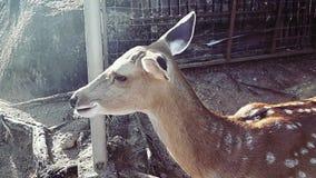 Deer eating in the zoo stock video footage
