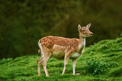 Deer at the Edge of the Forest Royalty Free Stock Photo