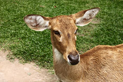 Deer,Eld's deer Royalty Free Stock Images