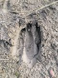 Deer, elk, cow footprint in the mud in the forest, close up, detailed, on the dirt horseback trails through trees on the Yellow Fo. Rk and Rose Canyon Trails in Stock Photography