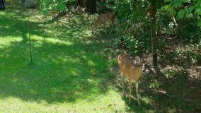 Deer en een flauw die een appel willen stock footage