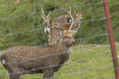 Deer in an enclosure Royalty Free Stock Photography