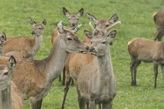 Deer in an enclosure Stock Photography