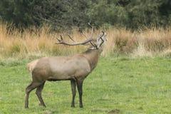 Deer in an enclosure Stock Photos