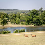 Deer in the English Countryside Royalty Free Stock Photography