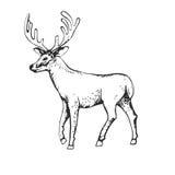 Deer engraving style, vintage illustration, hand drawn, sketch Royalty Free Stock Image